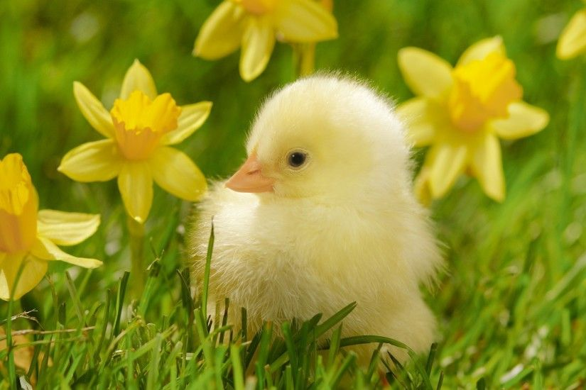 Baby Duck Wallpaper 1716