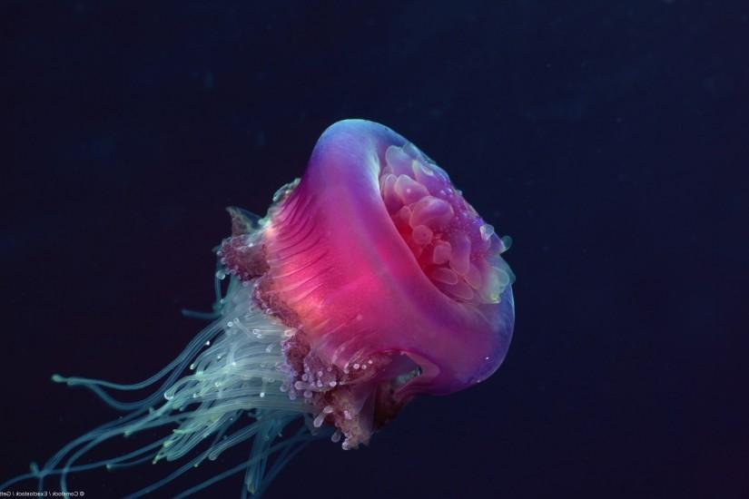 nature, Jellyfish Wallpaper HD