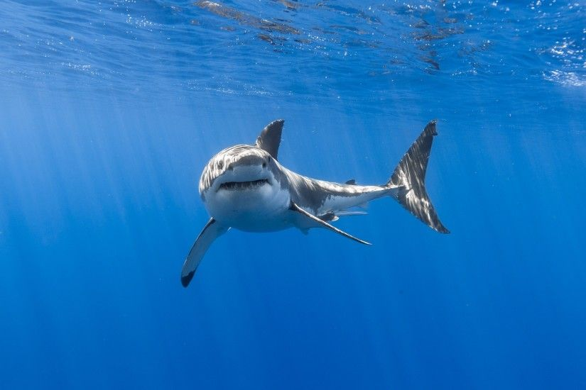 Animals / Great white shark Wallpaper