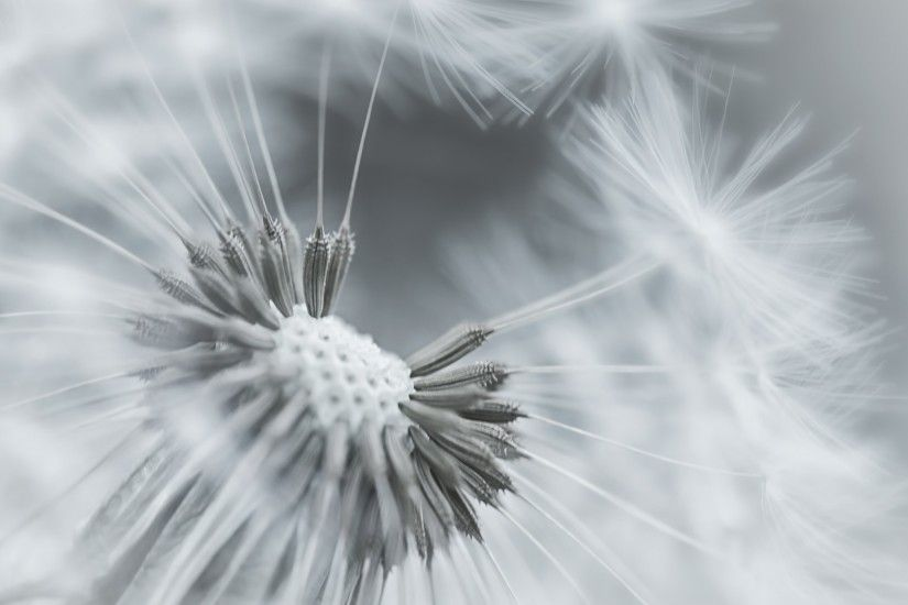 White Dandelion Wallpaper 5 - 1920 X 1080