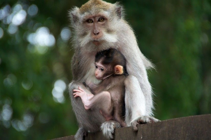 Cute Monkey with His Child HD Animal Photo Download Wallpaper 3840x2400  Monkey, Face, Eyes, Baby Ultra HD 4K .