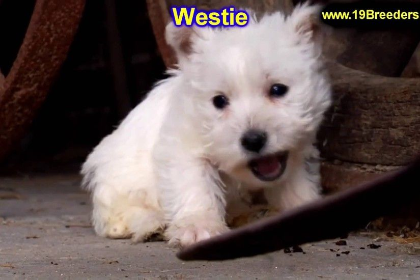 West Highland White Terrier, Westie, Puppies, Dogs, For Sale, In  Montgomery, Alabama, AL, 19Breeders