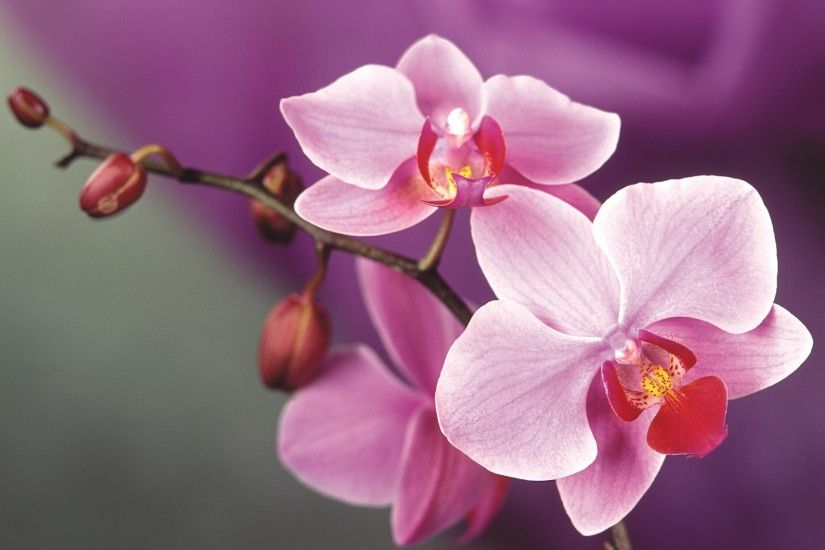 Find out: Pink Orchid wallpaper on http://hdpicorner.com/pink