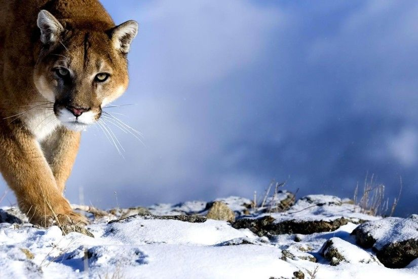 wallpaper.wiki-Free-Download-Cougar-Wallpapers-HD-PIC-