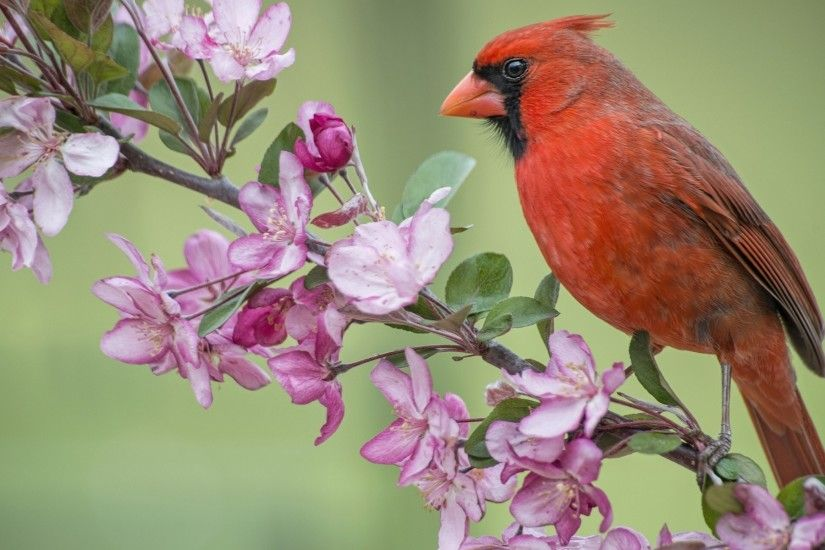 Red cardinal bird, Apple tree, flowers blossom, spring wallpaper thumb