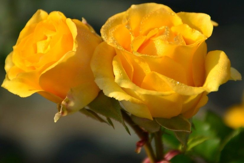 ... Yellow roses HD Wallpaper 2880x1800