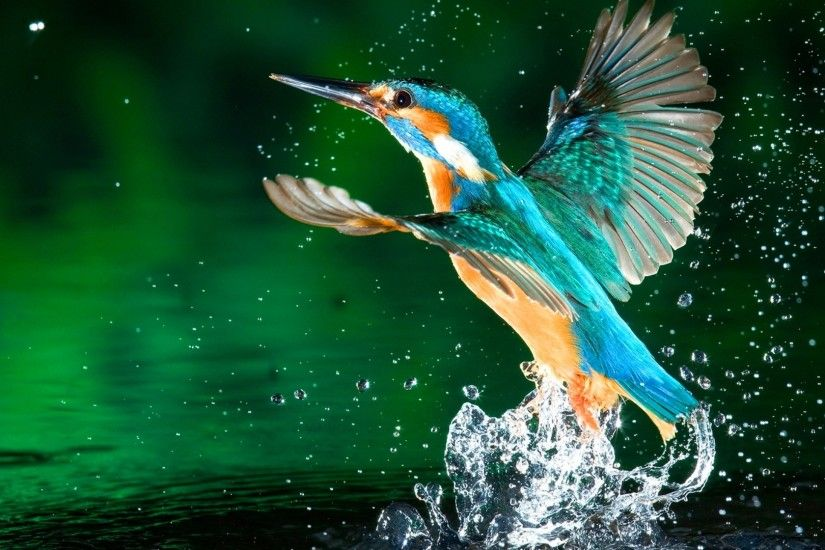 kingfisher bird hd wallpapers free download 1080p