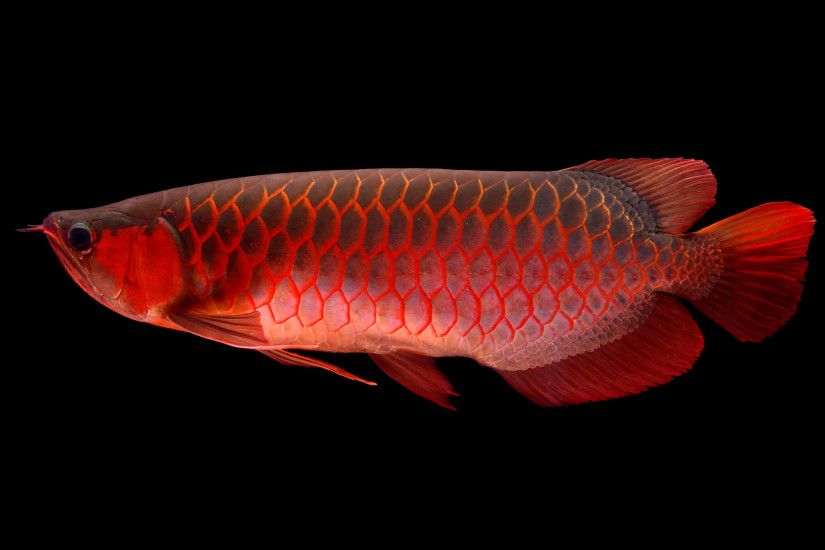 ... Fish Red Arwana Dekstop Hd Wallpaper #2438 Wallpaper .