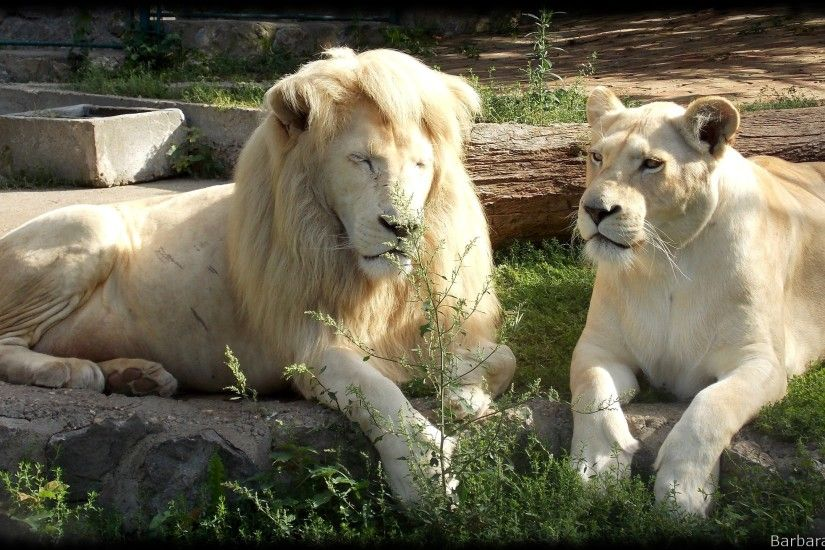 White lions wallpapers with male and female