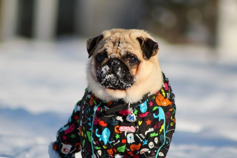 Preview wallpaper pug, dog, snow jacket, winter 1920x1080