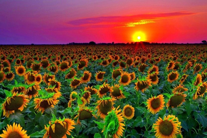 Sunset Over Sunflowers Field (33 Wallpapers) – HD Desktop Wallpapers ...