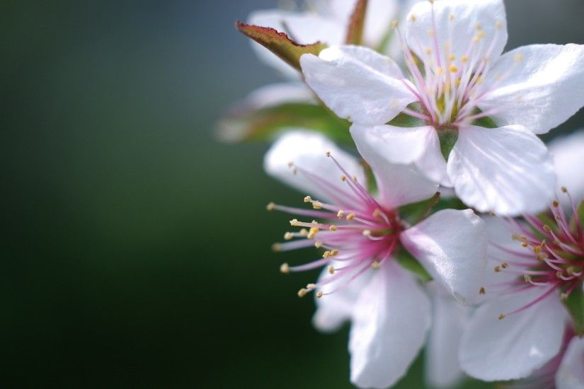 ... Apple blossom - Flowers & Nature Background Wallpapers on Desktop .