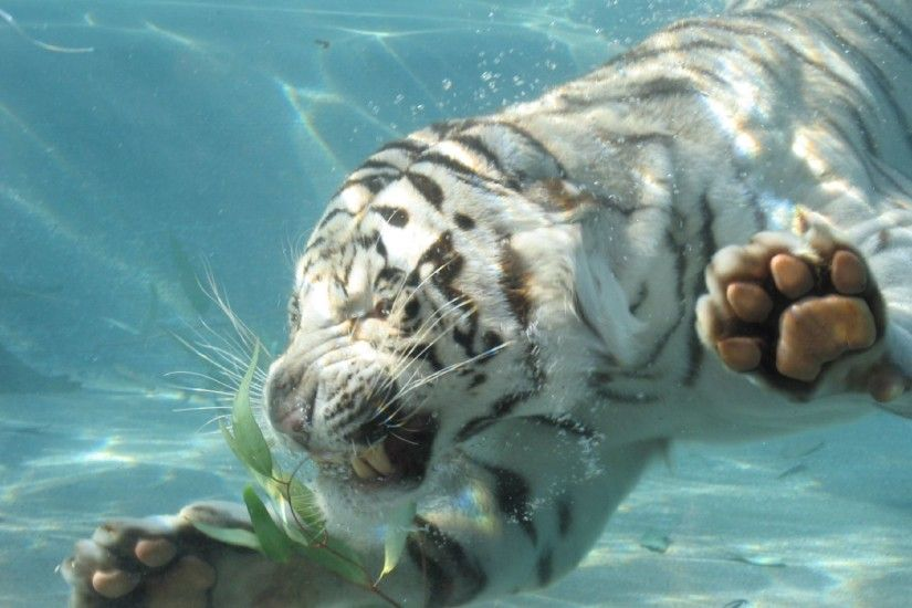White tiger swimming images