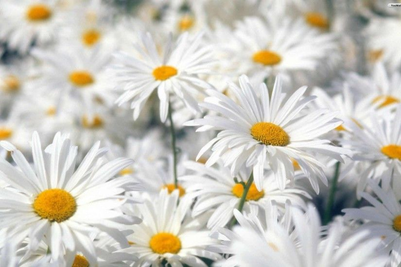 Flowers: Petals Nature Daisy Time Sun Daiaies Daisies Splendor ... Wallpaper  ...