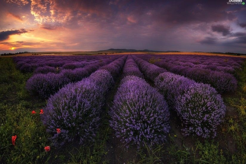 Great Sunsets, lavender, Bulgaria, Field