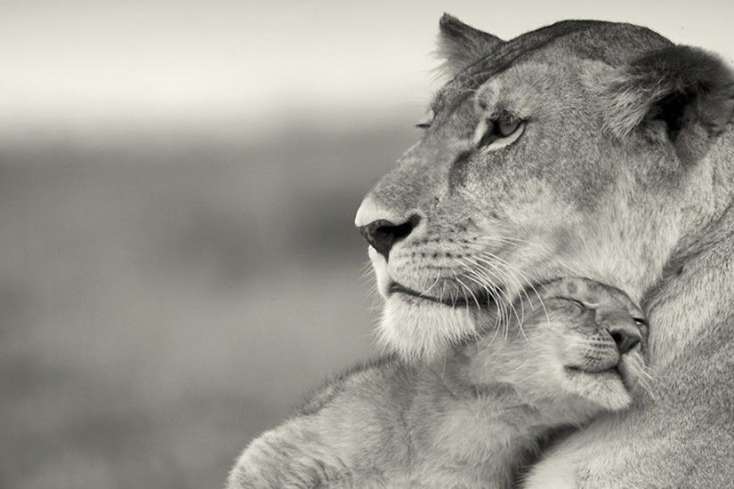 2560x1080 Wallpaper lioness, lion, white, animal, family