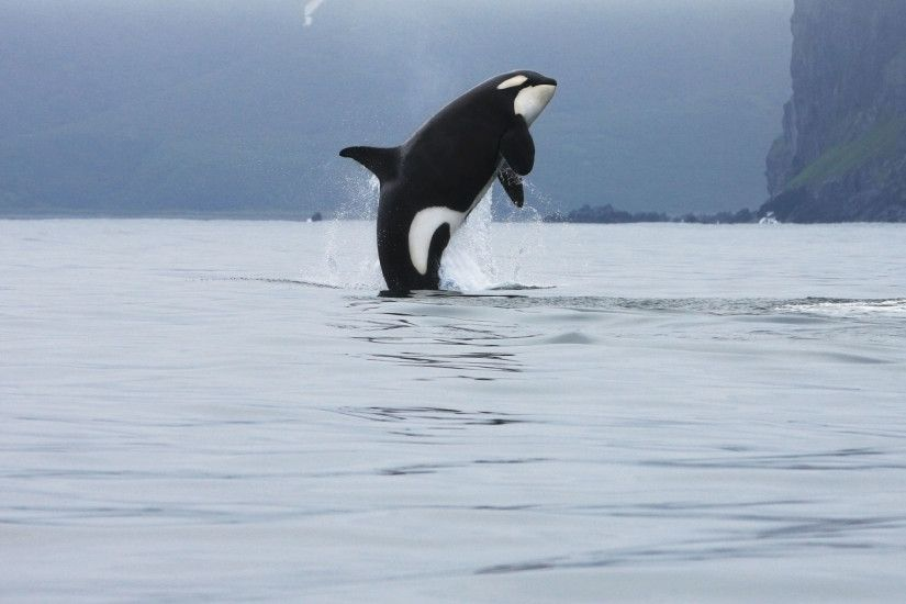 Orca Whale Iphone 6 Wallpaper Best HD