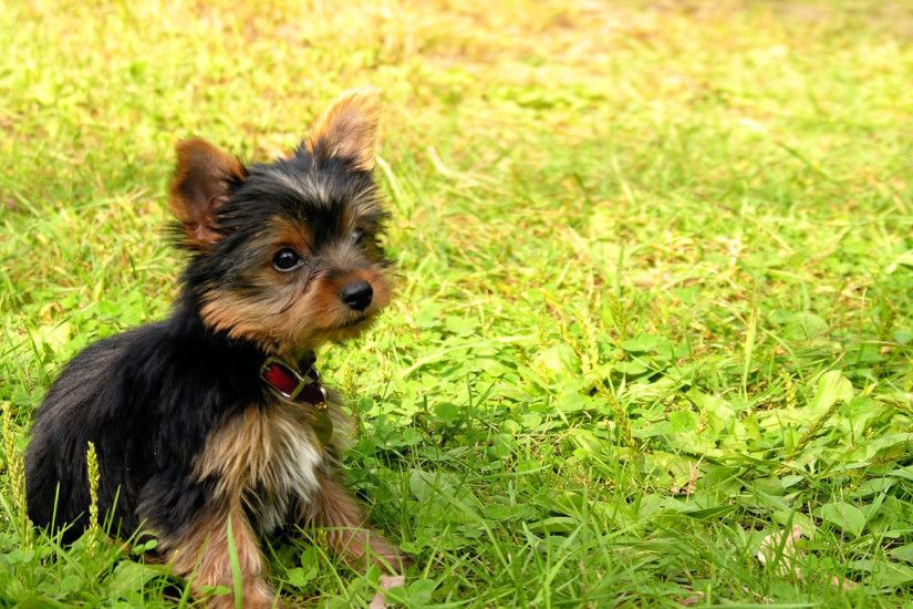 Pin Yorkie Desktop Wallpaper on Pinterest