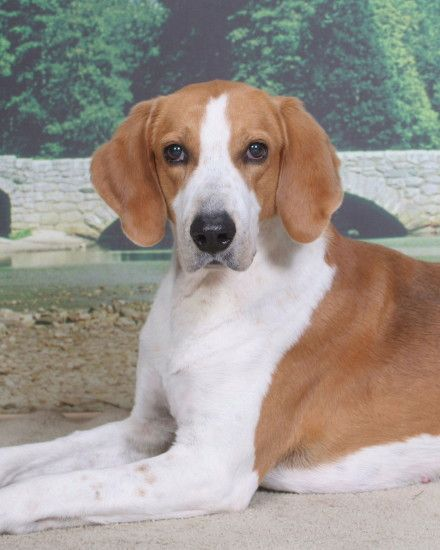 American Foxhound puppies · American Foxhound dog portrait