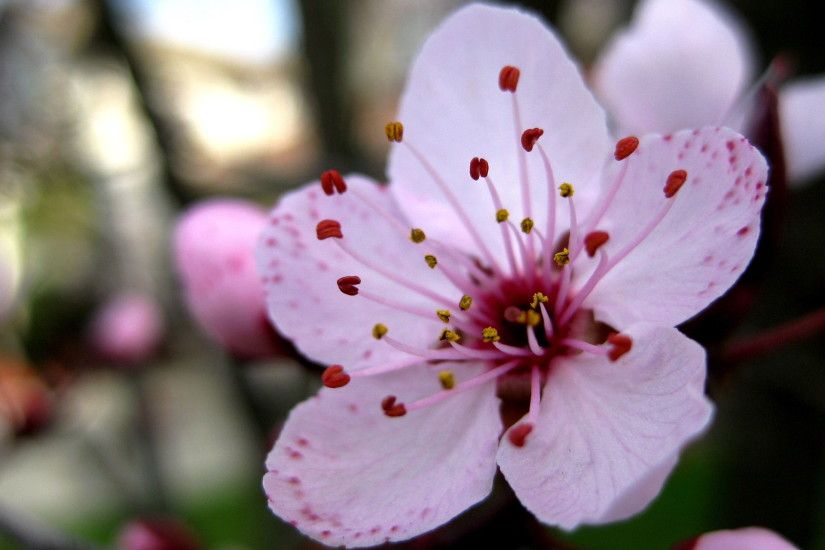 Filename: sakura-flower.jpg