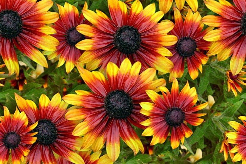 background,image,beautiful,orange,burgundy,flowers,backdrop,colors,