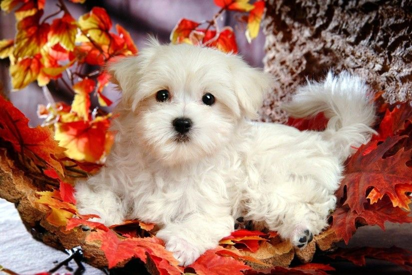 Cute Puppy Dogs Wallpaper Images & Pictures – Becuo
