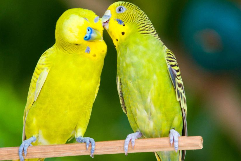 Most Beautiful Love Birds HD Wallpapers