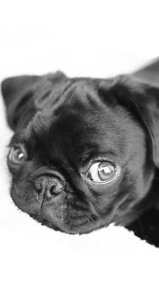 cute pug puppies wallpaper Pinterest