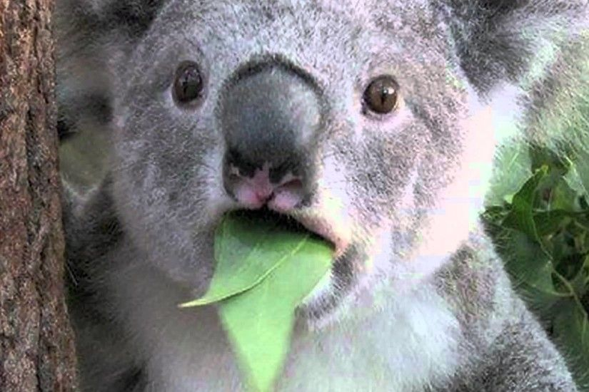 45 Koala Bear Wallpaper For Desktop, HD Quality Koala Bear Images .