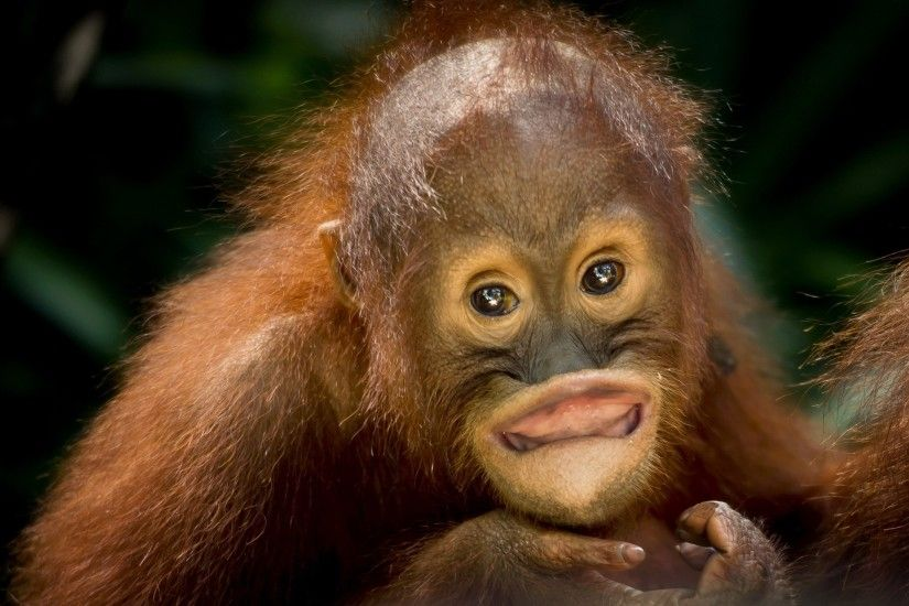 ... orangutan HD Wallpaper 2560x1440 Goofy ...