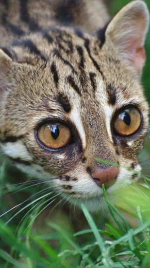 Clouded leopard, wild cat, grass iPhone 6 (6S) Plus wallpaper - 1080x1920