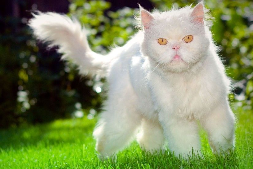 Grumpy fluffy white cat on the grass