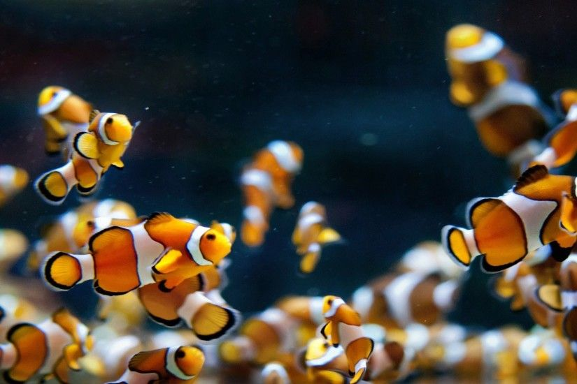 wallpaper many clownfish full hd cool download high definiton 1920×1080  Wallpaper HD