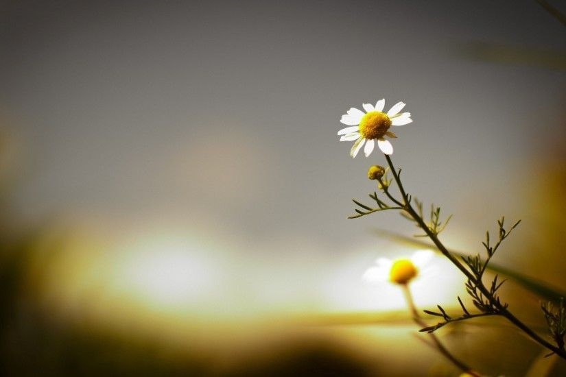 flower daisy background flower wallpaper blur