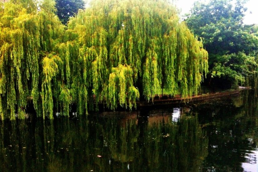 Weeping Willow and its reflection