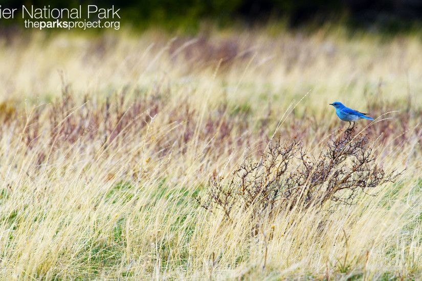 Whitetail Deer. Mountain Bluebird. Download all resolutions on the Glacier  Wallpaper ...