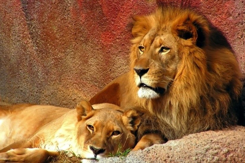 Lion Lioness White Animal Family Hi Wallpaper Mother and Son