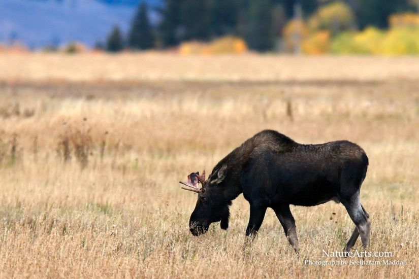 Bull Moose , wildlife wallpapers, desktop wallpapers