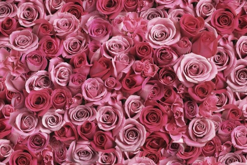 A lot of pink roses wallpaper
