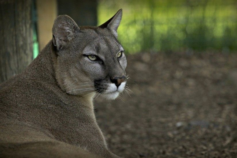 1920x1080 Wallpaper puma, cougar, wolf, mountain lion, wildcat
