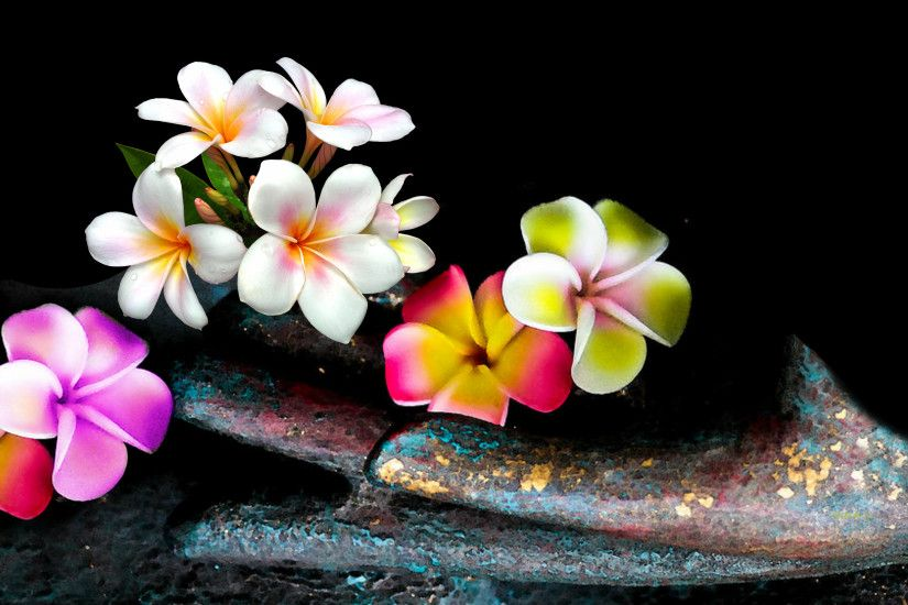 Plumeria Wide Desktop Background Wallpaper HD