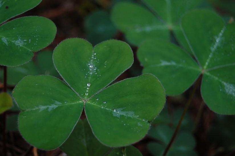 Irish Shamrock Wallpaper | wallpaper, wallpaper hd, background desktop