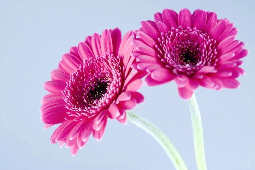 Pink Daisy Flower wallpapers Wallpapers) – Wallpapers For Desktop
