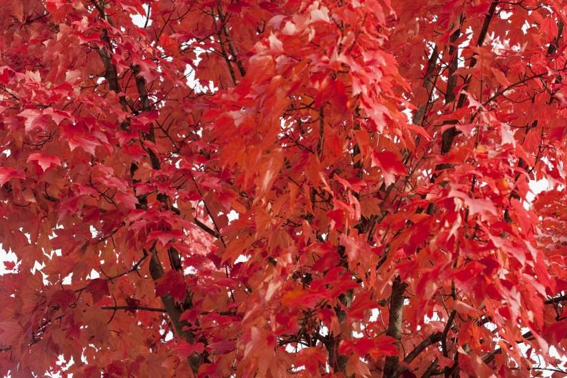 Background of vivd red autumn or fall foliage, conceptual of the changing  cycle of seasons