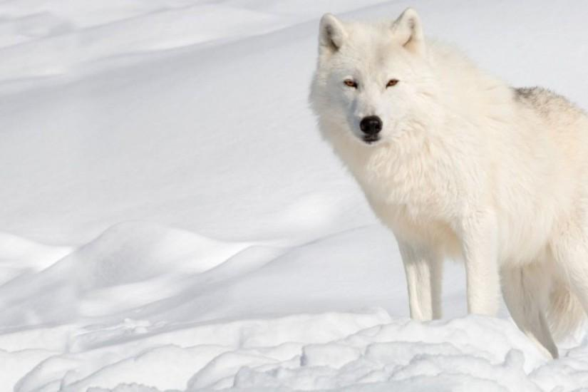 Wallpapers For > Arctic Wolf Wallpapers