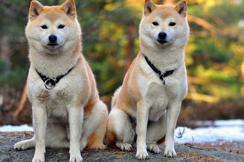 Japan Shiba Inu Dogs Desktop Wallpaper