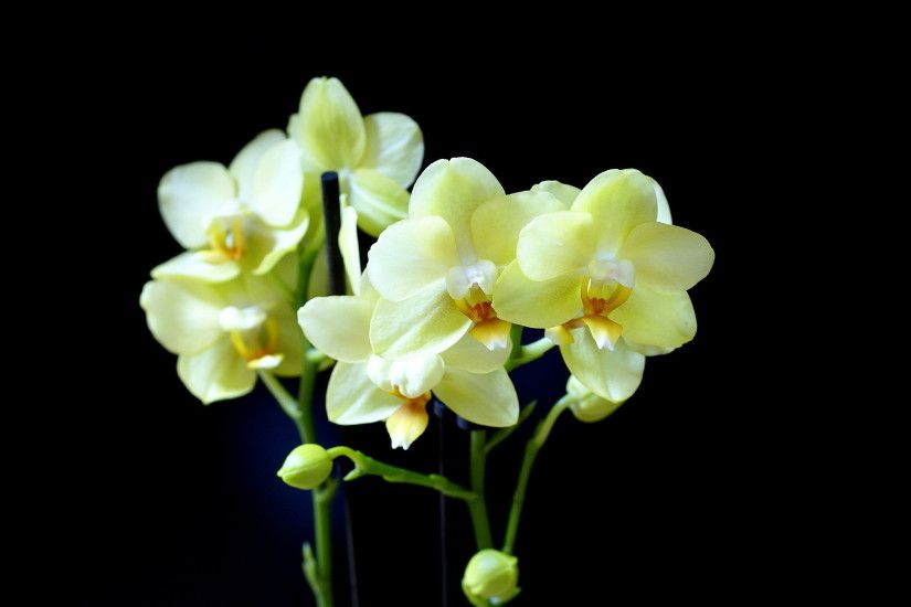 1920x1200 White Orchid Wallpapers - Wallpaper Cave White Orchids Black HD  desktop wallpaper : Widescreen : High .