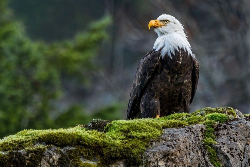 animals, Nature, Wildlife, Eagle, Birds, Moss, Bald Eagle Wallpapers HD /  Desktop and Mobile Backgrounds