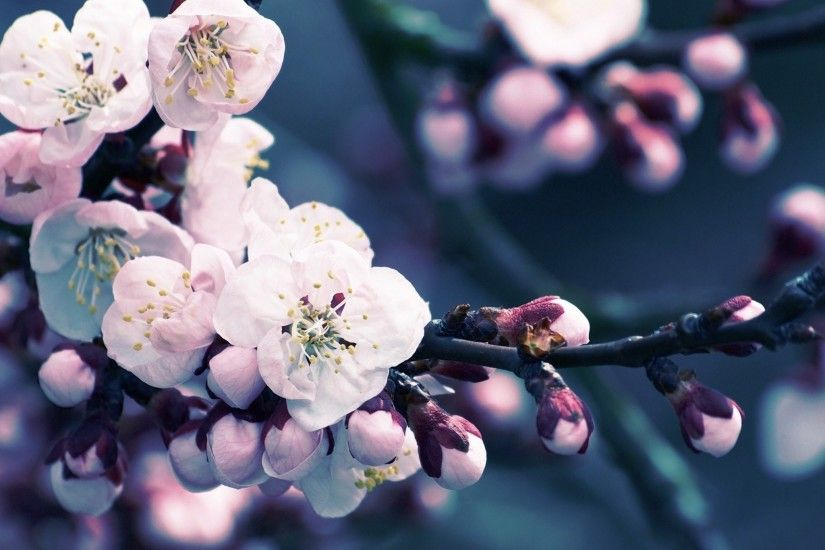 Flower : Close Up Of Cherry Blossom HD Desktop Wallpaper Free High .