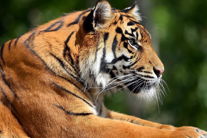 Save the tigers before they are silenced forever.